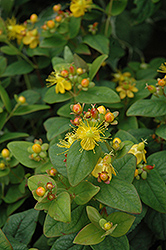 Mystical Black St. John's Wort (Hypericum 'Mystical Black') at Oakland Nurseries Inc