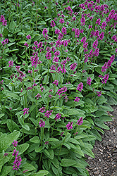 Hummelo Betony (Stachys monieri 'Hummelo') at Oakland Nurseries Inc