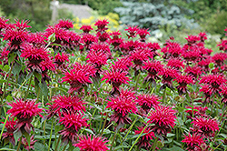 Raspberry Wine Beebalm (Monarda 'Raspberry Wine') at Oakland Nurseries Inc
