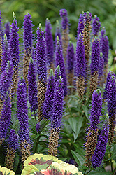 Royal Candles Speedwell (Veronica spicata 'Royal Candles') at Oakland Nurseries Inc