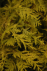 Vintage Gold Dwarf Moss Falsecypress (Chamaecyparis pisifera 'Vintage Gold') at Oakland Nurseries Inc