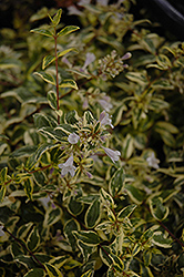 Twist of Lime™ Glossy Abelia (Abelia x grandiflora 'Hopley's') at Oakland Nurseries Inc