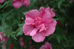 Lucy Rose Of Sharon (Hibiscus syriacus 'Lucy') at Oakland Nurseries Inc