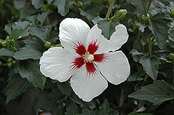Lil' Kim® Rose of Sharon (Hibiscus syriacus 'Antong Two') at Oakland Nurseries Inc