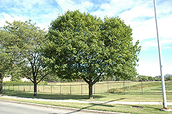 Norway Maple (Acer platanoides) at Oakland Nurseries Inc