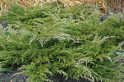 Calgary Carpet Juniper (Juniperus sabina 'Calgary Carpet') at Oakland Nurseries Inc