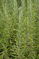Upright Rosemary (Rosmarinus officinalis 'Upright') at Oakland Nurseries Inc