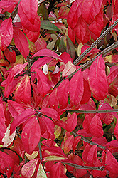 Fire Ball® Burning Bush (Euonymus alatus 'Select') at Oakland Nurseries Inc