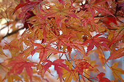 Butterfly Variegated Japanese Maple (Acer palmatum 'Butterfly') at Oakland Nurseries Inc