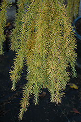 Varied Directions Larch (Larix decidua 'Varied Directions') at Oakland Nurseries Inc
