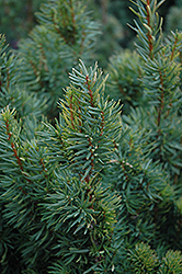 Citation Yew (Taxus x media 'Citation') at Oakland Nurseries Inc