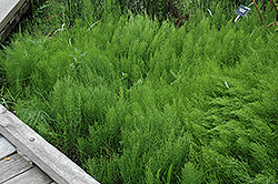Common Horsetail (Equisetum arvense) at Oakland Nurseries Inc