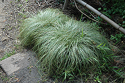 New Zealand Hair Sedge (Carex comans 'Frosted Curls') at Oakland Nurseries Inc