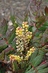 Oregon Grape Holly (Mahonia nervosa) at Oakland Nurseries Inc
