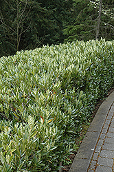 Otto Luyken Dwarf Cherry Laurel (Prunus laurocerasus 'Otto Luyken') at Oakland Nurseries Inc