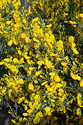 Scotch Broom (Cytisus scoparius) at Oakland Nurseries Inc