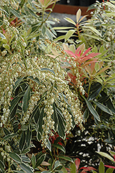 Flaming Silver Japanese Pieris (Pieris japonica 'Flaming Silver') at Oakland Nurseries Inc