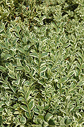 Variegated Boxwood (Buxus sempervirens 'Elegantissima') at Oakland Nurseries Inc