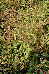 Gulf Stream Dwarf Nandina (Nandina domestica 'Gulf Stream') at Oakland Nurseries Inc