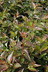 Edward Goucher Abelia (Abelia x grandiflora 'Edward Goucher') at Oakland Nurseries Inc