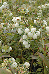 Earliblue Blueberry (Vaccinium corymbosum 'Earliblue') at Oakland Nurseries Inc