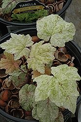 Mystic Mist Foamflower (Tiarella 'Mystic Mist') at Oakland Nurseries Inc