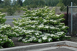 Shasta Doublefile Viburnum (Viburnum plicatum 'Shasta') at Oakland Nurseries Inc