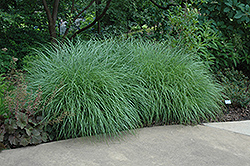 Little Kitten Dwarf Maiden Grass (Miscanthus sinensis 'Little Kitten') at Oakland Nurseries Inc