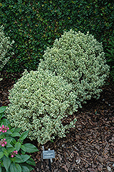 Variegated Boxwood (Buxus sempervirens 'Variegata') at Oakland Nurseries Inc