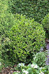 Winter Gem Boxwood (Buxus microphylla 'Winter Gem') at Oakland Nurseries Inc