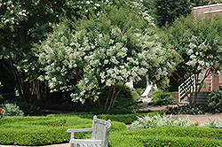 Natchez Crapemyrtle (Lagerstroemia 'Natchez') at Oakland Nurseries Inc