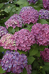 Pia Hydrangea (Hydrangea macrophylla 'Pia') at Oakland Nurseries Inc