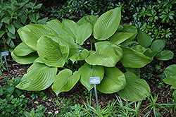 Sum and Substance Hosta (Hosta 'Sum and Substance') at Oakland Nurseries Inc