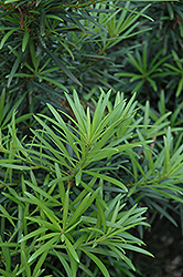 Japanese Yew (Podocarpus macrophyllus) at Oakland Nurseries Inc