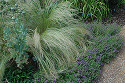Mexican Feather Grass (Nassella tenuissima) at Oakland Nurseries Inc