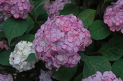 Pink Beauty Hydrangea (Hydrangea macrophylla 'Pink Beauty') at Oakland Nurseries Inc