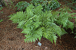 Autumn Fern (Dryopteris erythrosora) at Oakland Nurseries Inc