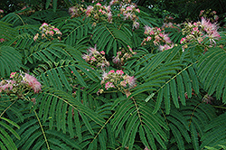 Mimosa (Albizia julibrissin) at Oakland Nurseries Inc