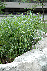 Zebra Grass (Miscanthus sinensis 'Zebrinus') at Oakland Nurseries Inc