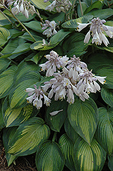 June Hosta (Hosta 'June') at Oakland Nurseries Inc