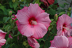 Sweet Caroline Hibiscus (Hibiscus moscheutos 'Sweet Caroline') at Oakland Nurseries Inc