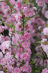 Double Pink Flowering Almond (Prunus glandulosa 'Rosea Plena') at Oakland Nurseries Inc