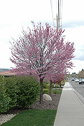 Eastern Redbud (Cercis canadensis) at Oakland Nurseries Inc