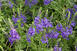 Crater Lake Blue Speedwell (Veronica austriaca 'Crater Lake Blue') at Oakland Nurseries Inc