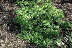 Prostrate Japanese Plum Yew (Cephalotaxus harringtonia 'Prostrata') at Oakland Nurseries Inc