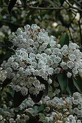 Mountain Laurel (Kalmia latifolia) at Oakland Nurseries Inc