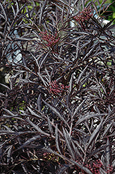 Black Lace® Elder (Sambucus nigra 'Eva') at Oakland Nurseries Inc