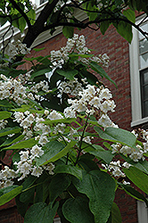 Northern Catalpa (Catalpa speciosa) at Oakland Nurseries Inc