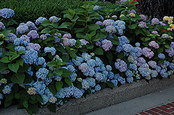 Nikko Blue Hydrangea (Hydrangea macrophylla 'Nikko Blue') at Oakland Nurseries Inc