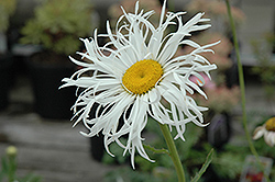 Aglaia Shasta Daisy (Leucanthemum x superbum 'Aglaia') at Oakland Nurseries Inc